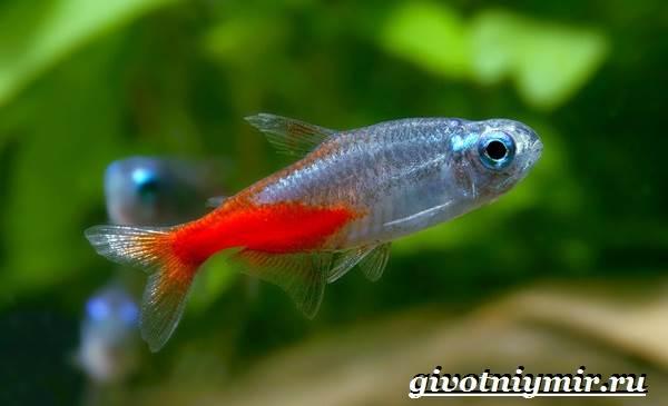 Неоны-рыбки-Описание-особенности-уход-и-содержание-неонов-2