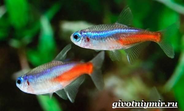 Неоны-рыбки-Описание-особенности-уход-и-содержание-неонов-4
