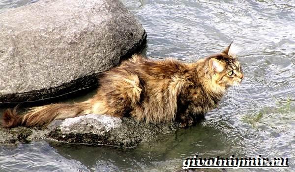 Норвежская-лесная-кошка-Описание-особенности-уход-и-цена-норвежской-лесной-кошки-10