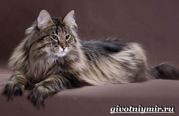 Норвежская-лесная-кошка-Описание-особенности-уход-и-цена-норвежской-лесной-кошки-11