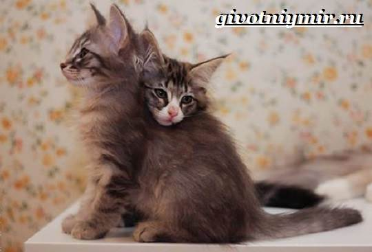 Норвежская-лесная-кошка-Описание-особенности-уход-и-цена-норвежской-лесной-кошки-16