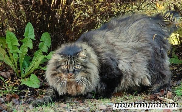 Норвежская-лесная-кошка-Описание-особенности-уход-и-цена-норвежской-лесной-кошки-2