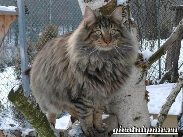 Норвежская-лесная-кошка-Описание-особенности-уход-и-цена-норвежской-лесной-кошки-4