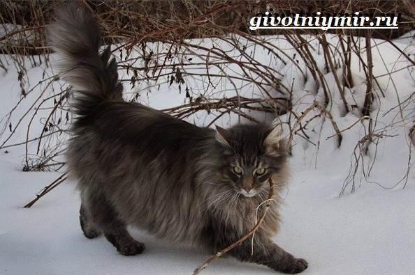 Норвежская-лесная-кошка-Описание-особенности-уход-и-цена-норвежской-лесной-кошки-7
