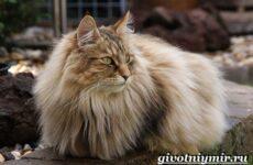 Норвежская лесная кошка. Описание, особенности, уход и цена норвежской лесной кошки
