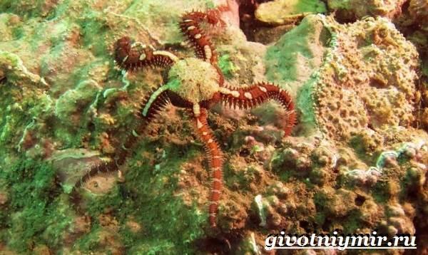 Офиура-животное-Образ-жизни-и-среда-обитания-офиуры-4