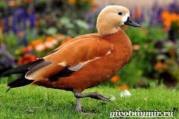 Огарь-птица-Образ-жизни-и-среда-обитания-птицы-огарь-1