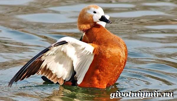 Огарь-птица-Образ-жизни-и-среда-обитания-птицы-огарь-3