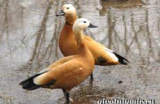 Огарь птица. Образ жизни и среда обитания птицы огарь