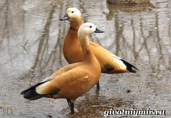 Огарь-птица-Образ-жизни-и-среда-обитания-птицы-огарь-4