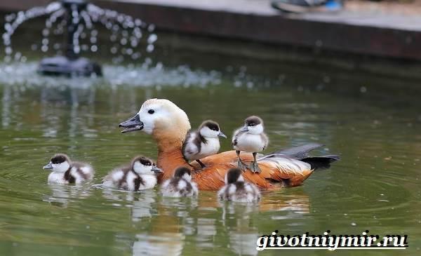 Огарь-птица-Образ-жизни-и-среда-обитания-птицы-огарь-6