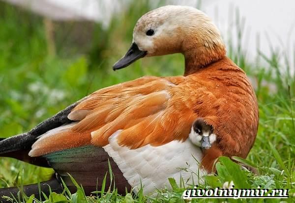 Огарь-птица-Образ-жизни-и-среда-обитания-птицы-огарь-7