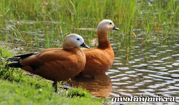 Огарь-птица-Образ-жизни-и-среда-обитания-птицы-огарь-8