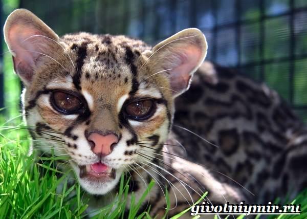 Онцилла-кошка-Образ-жизни-и-среда-обитания-онциллы-1