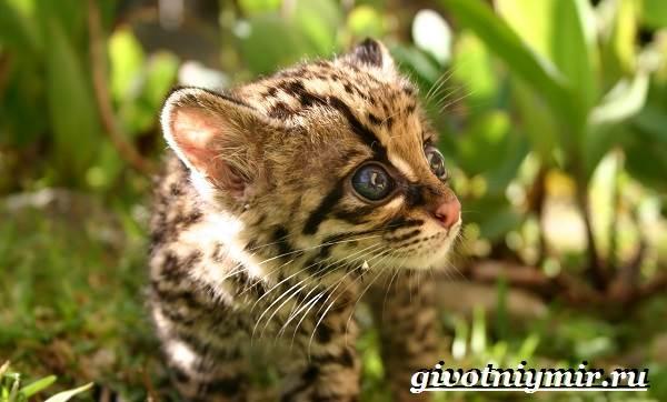 Онцилла-кошка-Образ-жизни-и-среда-обитания-онциллы-10