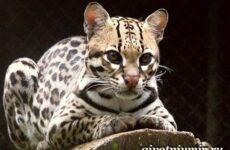 Онцилла кошка. Образ жизни и среда обитания онциллы