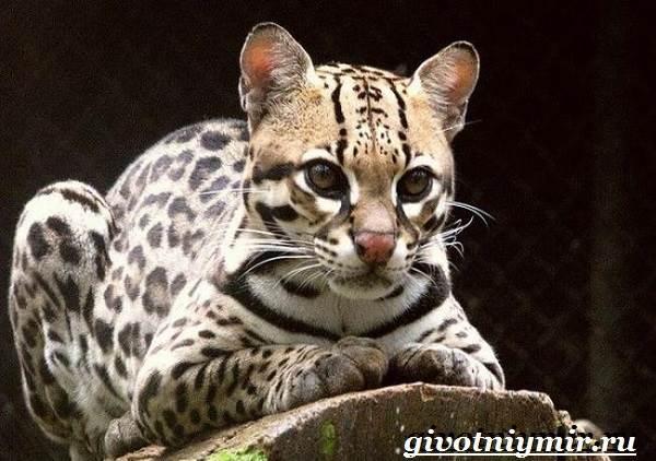 Онцилла-кошка-Образ-жизни-и-среда-обитания-онциллы-2