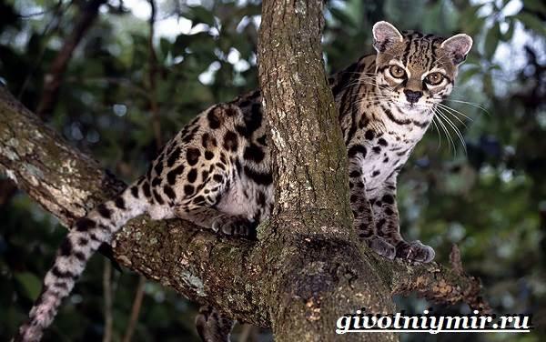 Онцилла-кошка-Образ-жизни-и-среда-обитания-онциллы-3