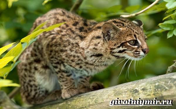 Онцилла-кошка-Образ-жизни-и-среда-обитания-онциллы-4