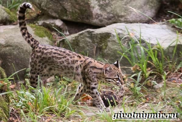 Онцилла-кошка-Образ-жизни-и-среда-обитания-онциллы-5