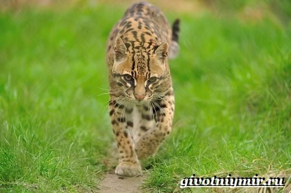 Онцилла-кошка-Образ-жизни-и-среда-обитания-онциллы-8