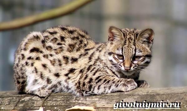 Онцилла-кошка-Образ-жизни-и-среда-обитания-онциллы-9
