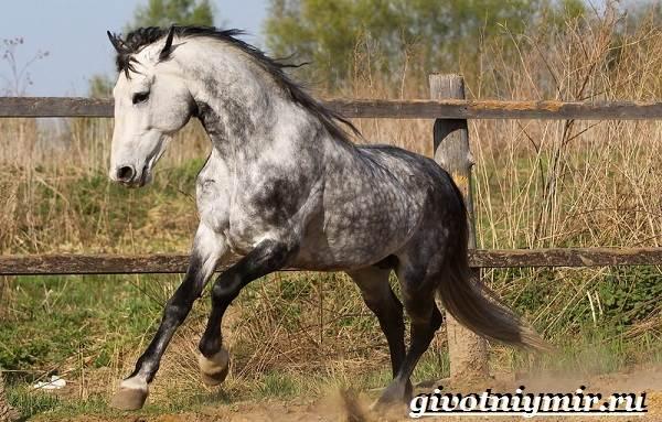 Орловская-лошадь-Описание-особенности-уход-и-цена-орловской-лошади-2
