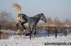 Орловская лошадь. Описание, особенности, уход и цена орловской лошади