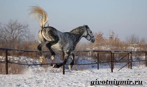 Орловская-лошадь-Описание-особенности-уход-и-цена-орловской-лошади-5