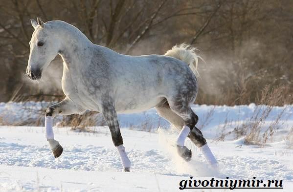 Орловская-лошадь-Описание-особенности-уход-и-цена-орловской-лошади-6