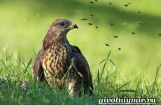 Осоед птица. Образ жизни и среда обитания осоеда