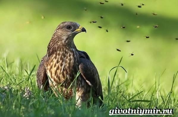 Осоед-птица-Образ-жизни-и-среда-обитания-осоеда-1