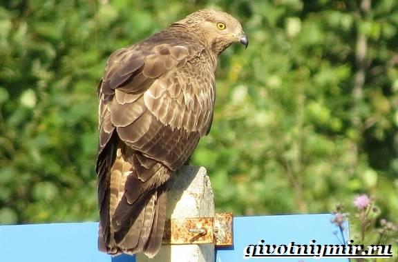 Осоед-птица-Образ-жизни-и-среда-обитания-осоеда-2