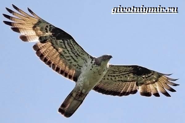 Осоед-птица-Образ-жизни-и-среда-обитания-осоеда-3