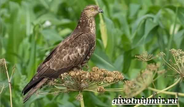 Осоед-птица-Образ-жизни-и-среда-обитания-осоеда-4