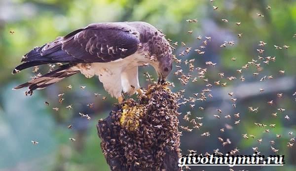 Осоед-птица-Образ-жизни-и-среда-обитания-осоеда-5