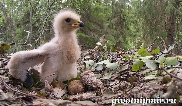 Осоед-птица-Образ-жизни-и-среда-обитания-осоеда-7