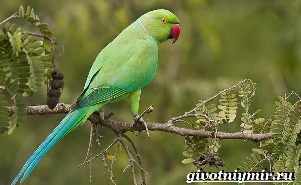 Ожереловый-попугай-Образ-жизни-и-среда-обитания-ожерелового-попугая-1