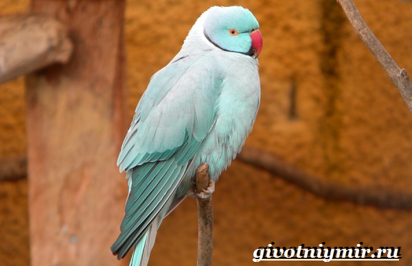 Ожереловый-попугай-Образ-жизни-и-среда-обитания-ожерелового-попугая-10