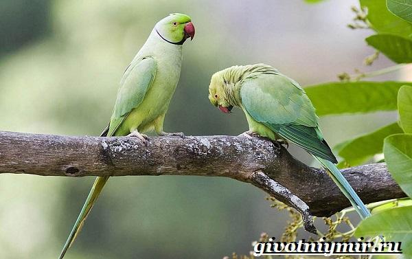 Ожереловый-попугай-Образ-жизни-и-среда-обитания-ожерелового-попугая-11