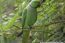 Ожереловый попугай. Образ жизни и среда обитания ожерелового попугая