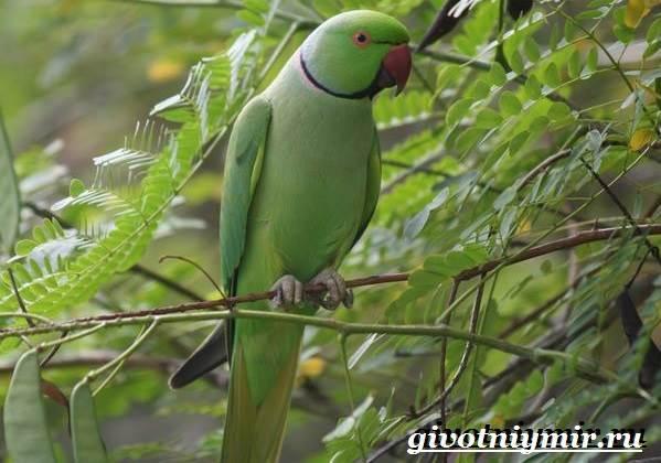Ожереловый-попугай-Образ-жизни-и-среда-обитания-ожерелового-попугая-2