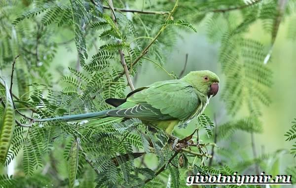 Ожереловый-попугай-Образ-жизни-и-среда-обитания-ожерелового-попугая-4