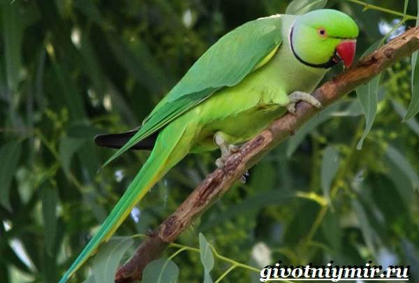 Ожереловый-попугай-Образ-жизни-и-среда-обитания-ожерелового-попугая-5