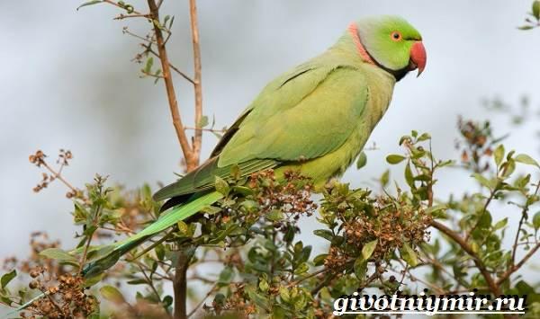 Ожереловый-попугай-Образ-жизни-и-среда-обитания-ожерелового-попугая-6