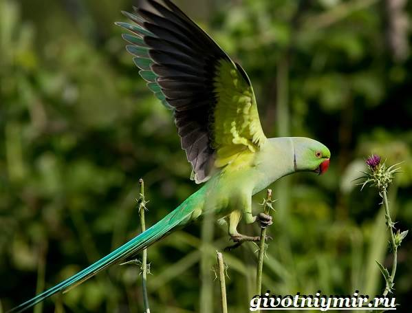 Ожереловый-попугай-Образ-жизни-и-среда-обитания-ожерелового-попугая-7