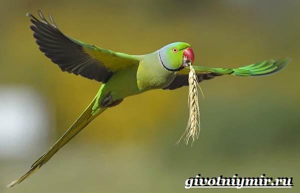 Ожереловый-попугай-Образ-жизни-и-среда-обитания-ожерелового-попугая-8