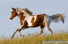 Пегая лошадь. Описание, особенности, уход и цена пегой лошади