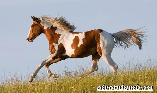 Пегая-лошадь-Описание-особенности-уход-и-цена-пегой-лошади-1