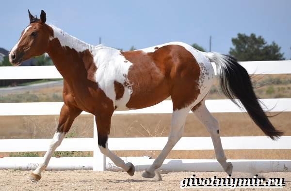 Пегая-лошадь-Описание-особенности-уход-и-цена-пегой-лошади-3